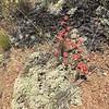 Matted buckwheat - Eriogonum caespitosum (ERCA8)