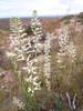 Hairy wild cabbage - Caulanthus pilosus (CAPI4)