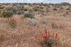 gooseberryleaf globemallow - Sphaeralcea grossulariifolia (SPGR2)