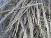 Sleepygrass - Achnatherum robustum  (ACRO7)