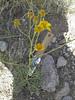 Bluntscale bahia - Bahia pedata (BAPE)