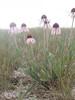 Blacksamson echinacea - Echinacea angustifolia (ECAN2)