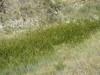 Cosmopolitan bulrush - Schoenoplectus maritimus (SCMA8)