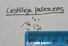 Pale Indian paintbrush - Castilleja pallescens (CAPA25)
