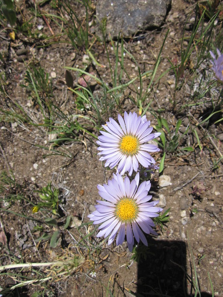 Parry's Townsend daisy - Townsendia parryi (TOPA2)