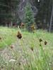 Elk sedge - Carex garberi (CAGA3)