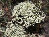 Slender buckwheat - Eriogonum microthecum (ERMI4)