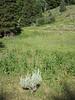 Western coneflower - Rudbeckia occidentalis (RUOC2)