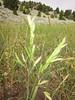 Mountain brome - Bromus marginatus (BRMA4)