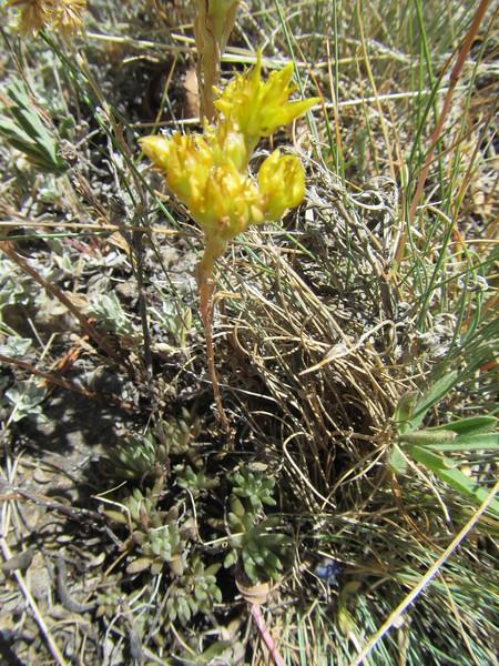 Spearleaf stonecrop - Sedum lanceolatum (SELA)