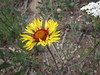 Blanketflower - Gaillardia aristata (GAAR)