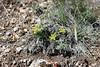 Purple leptotaenia - Lomatium columbianum (LOCO)