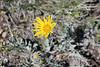 Modoc hawksbeard - Crepis modocensis (CRMO4)