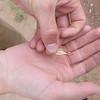 Rushy milkvetch - Astragalus lonchocarpus (ASLO3)