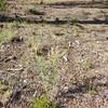 Drummond's milkvetch - Astragalus drummondii (ASDR3)