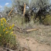 blue grama - Bouteloua gracilis (BOGR2)