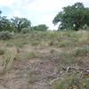 hoary false goldenaster - Heterotheca canescens (HECA8)
