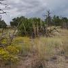 sideoats grama - Bouteloua curtipendula (BOCU)