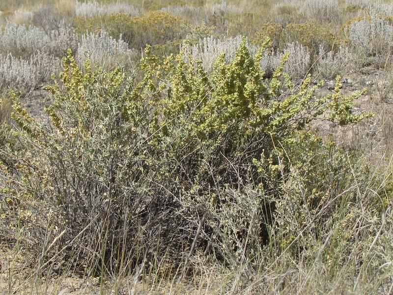 fourwing saltbush - Atriplex canescens (ATCA2)