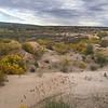 Hopi tea greenthread - Thelesperma megapotamicum (THME)