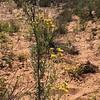 Collegeflower - Hymenopappus flavescens (HYFL)