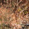 annual buckwheat - Eriogonum annuum (ERAN4)