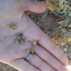 Woolly paperflower - Psilostrophe tagetina (PSTA)