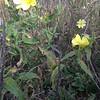 Hooker's evening primrose - Oenothera elata (OEEL)