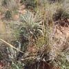 giant dropseed - Sporobolus giganteus (SPGI)