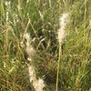 Silver bluestem - Bothriochloa saccharoides (BOSA)