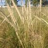 Whiplash pappusgrass - Pappophorum vaginatum (PAVA2)