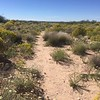 Plains blackfoot - Melampodium leucanthum (MELE2)