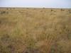 Grama grassland