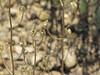 Tall mountain larkspur - Delphinium scaposum (DESC)