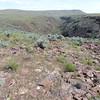 Bolander's peltula lichen - Peltula bolanderi (PEBO3)