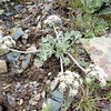 Bigseed biscuitroot - Lomatium macrocarpum (LOMA3)