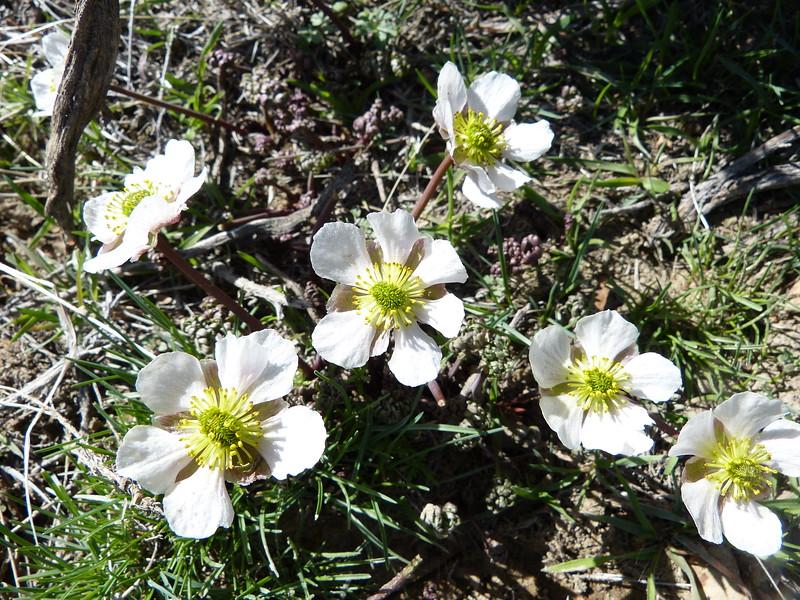 Anderson's buttercup - Ranunculus andersonii (RAANA)