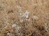 bristly fiddleneck - Amsinckia tessellata (AMTE3)