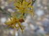 green rabbitbrush - Ericameria teretifolia (ERTE18)