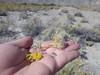rubber rabbitbrush - Ericameria nauseosa var. oreophila (ERNAO)