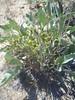 limestone hawksbeard - Crepis intermedia (CRIN4)