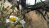 pricklypoppy - Argemone sp. (ARGEM) with pollinator