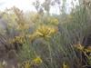rubber rabbitbrush - Ericameria nauseosa subsp. consimilis (ERNAC2)