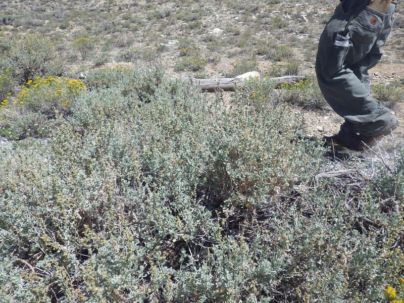silver sagebrush - Artemisia cana (ARCA13)