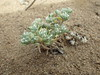 cushion cryptantha - Cryptantha circumscissa (CRCI2)