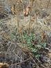 Canadian milkvetch - Astragalus canadensis (ASCA11)