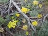Austin desertparsley - Lomatium austiniae (LOAU5)