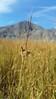 mountain rush - Juncus arcticus subsp. littoralis (JUARL)