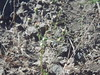 rough eyelashweed - Blepharipappus scaber (BLSC)