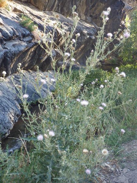 Mojave thistle - Cirsium mohavense (CIMO)